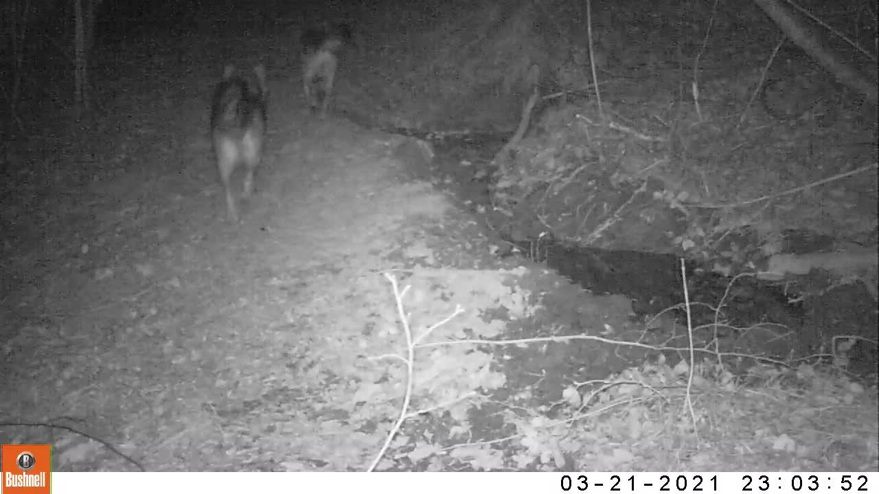 Il passaggio di un branco di lupi in Valbormida