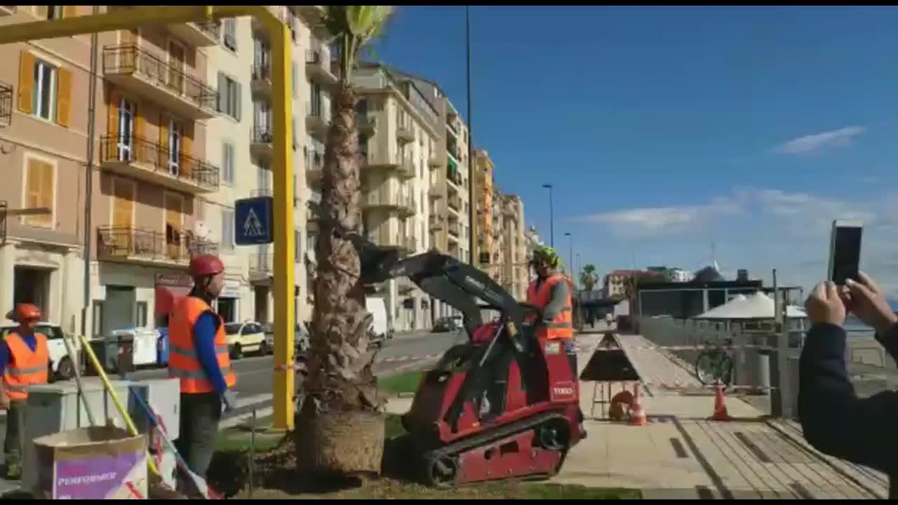 Savona, iniziano i lavori di piantumazione delle palme