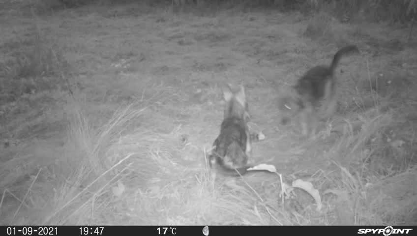 Cuccioli di lupo filmati nei boschi della Valbormida: le immagine esclusive