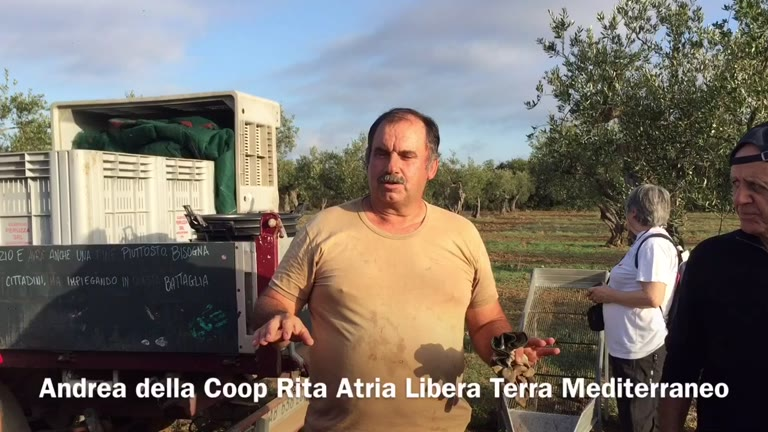 Video: La raccolta delle olive a Castelvetrano, nei campi di Libera