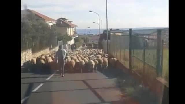 Ceriale: tutti in coda dietro un gregge di pecore