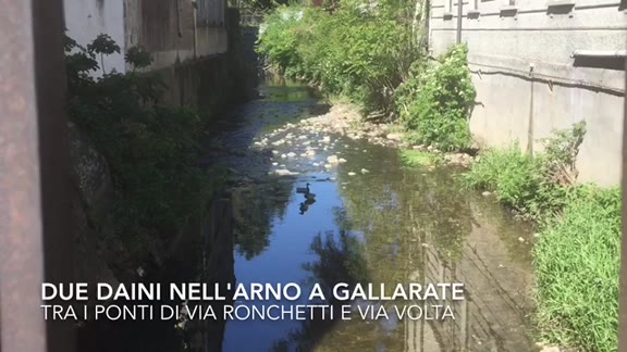 Video: Due Daini bloccati nell'Arnetta