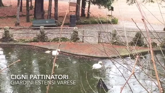 Video: Anche i cigni pattinano