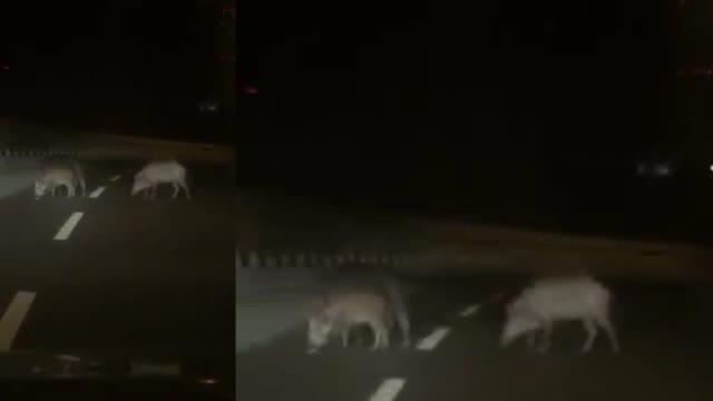 Cinghiali di notte sulla superstrada Savona-Vado