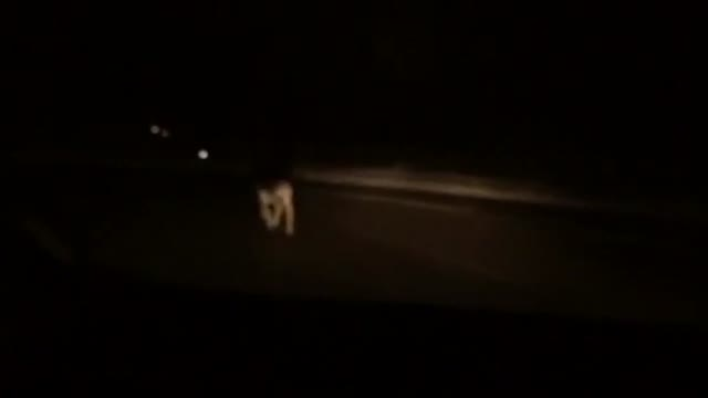 Video: Capriolo a spasso in strada